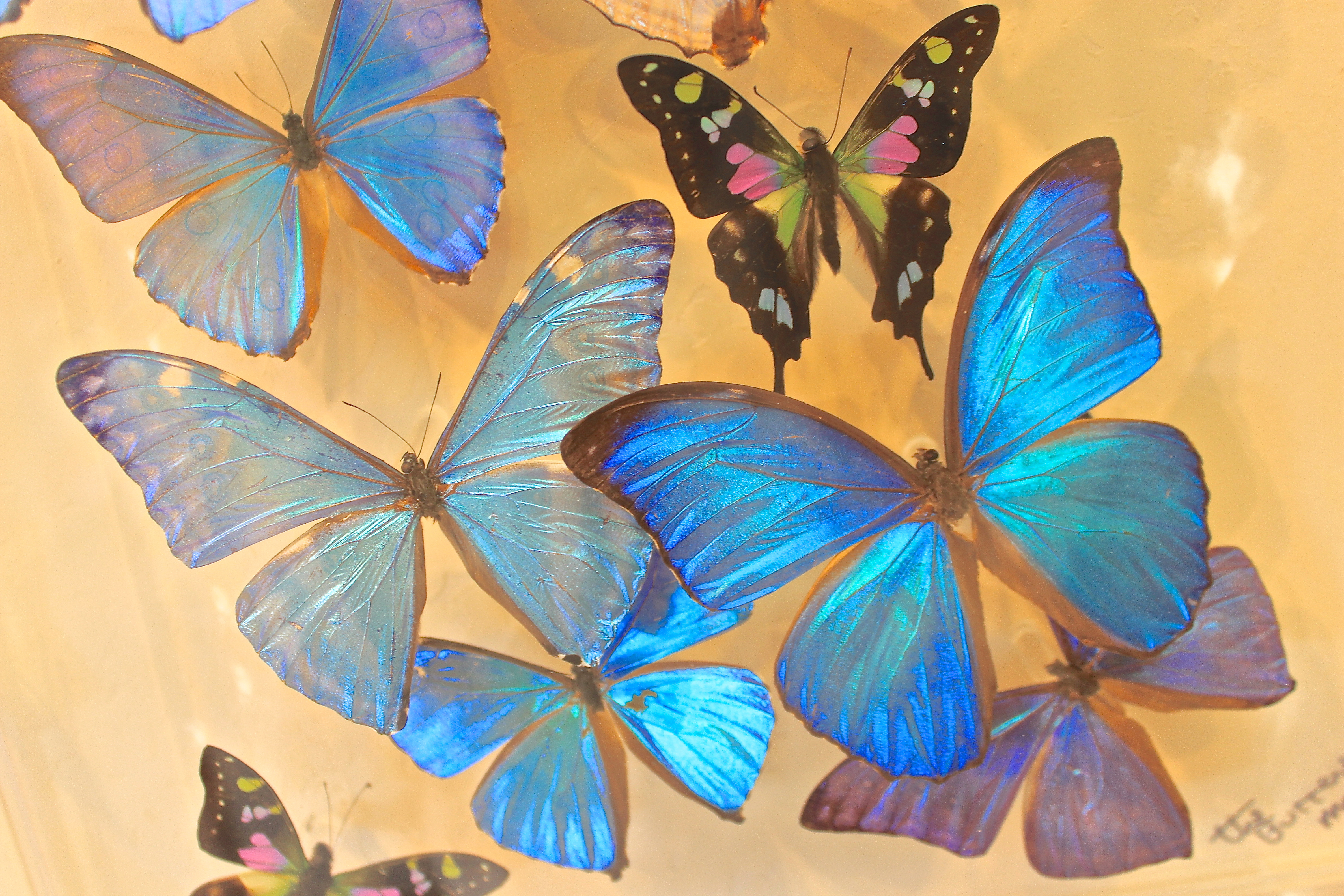 rare butterflys